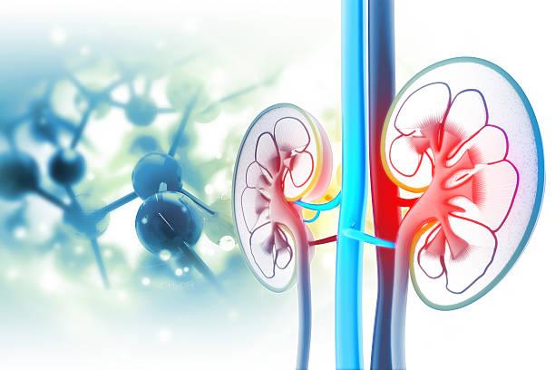 Human kidney cross section
